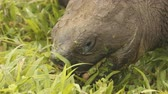 boca : Galapagos Tortoise eating grass on Santa Cruz Island in Galapagos Islands. Galapagos Giant Tortoises are iconic to and only found Galapagos. Animals, nature and wildlife video from Galapagos Islands. Vídeos