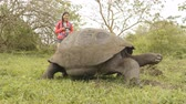 species : Galapagos Giant Tortoise and woman tourist on Santa Cruz Island in Galapagos Islands. Animals, nature and wildlife video close up of tortoise in the highlands of Galapagos, Ecuador, South America. Stock Footage