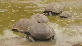 穴 : Galapagos Giant Tortoise on Santa Cruz Island in Galapagos Islands. Group of many Galapagos tortoises cool of in water hole. Amazing animals, nature and wildlife video from Galapagos Islands highlands
