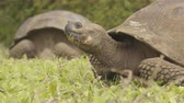 species : Galapagos Giant Tortoise on Santa Cruz Island in Galapagos Islands. Animals, nature and wildlife video close up of tortoises in the highlands of Galapagos, Ecuador, South America.