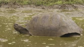 bath : Galapagos Giant Tortoise on Santa Cruz Island in Galapagos Islands. Galapagos tortoises yawning and cool of in water hole. Amazing animals, nature and wildlife video from Galapagos Islands highlands Stock Footage