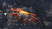 crustáceo : Sally Lightfoot Crab on Galapagos Islands eating and walking on rock. AKA Graspus Graspus and Red Rock Grab. Wildlife and animals of the Galapagos Islands, Ecuador.
