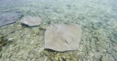 polinesia francese : Stingrays - video of Stingray wildlife in nature in French Polynesia, Bora, Bora, Tahiti. Stringray are often seen on snorkeling and diving tours.