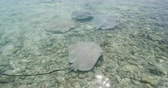 Stingrays - video of Stingray wildlife in nature in French Polynesia, Bora, Bora, Tahiti. Stringray are often seen on snorkeling and diving tours. Shot on RED Epic in Slow Motion. Stok Video