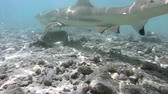 lagune : Blacktip Reef Shark attacking biting camera swimming in French Polynesia Tahiti island coral reef lagoon in Pacific Ocean. Tropical Blacktip Reef Sharks. From Rangiroa atoll. Stock Footage