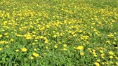 идиллический : Many dandelion flowers on the field. Nature. Spring. Yellow flowers on the field.