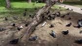 A lot of pigeons flew to eat. Pigeons in the park arrive for feeding. Hungry pigeons in the parks. There are no people.