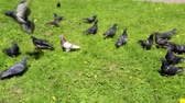 Many pigeons walk on the green grass. Birds in the summer. Pigeons walk and fly away. The grass is green, dandelions grow.
