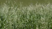 The wind stirs the grass. Nature in the summer. Spikelets close up. The wind blows on the grass in the field.