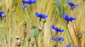 cornflower and barley Stok Video