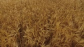 milharal : Flight over a cereal field Stock Footage