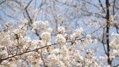 The flower of the cherry tree which blooms in early spring is Japanese peoples flower favorite to No. 1.  Stok Video
