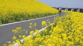 The cycling road on which rape blossoms are in bloom  Stok Video
