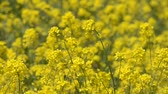 Rape blossoms which hang over a breeze  Stok Video