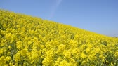 A spring blue sky and rape blossoms