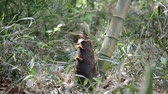 Bamboo shoot Stok Video