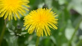 The flower of the dandelion