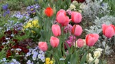 tulip : A spring flower Stock Footage