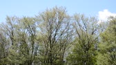 Trees which shake by a strong spring breeze
