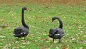 křoví : black swans birds swans black