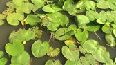 clorofila : Water lilies big round leaves spread on the surface of the lake, winding  in a light summer breeze