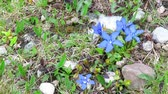 Small group of spring gentian flowers , Gentiana verna  , blowing in the wind, on specific habitat of an alpine terrain Dostupné videozáznamy