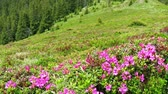 Blossomed shrub of rhododendron flowers in their natural habitat of an alpine meadow with fir trees in the background, under a gentle breeze