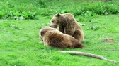 Two young brown bears , Ursus arctos , playing with each other on green grass of a meadow Dostupné videozáznamy