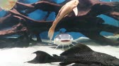 Several species of fish in aquarium showing cohabitation in specific habitat , Silver Dollar fish , Common Pleco fish , Silver Arowana fish and Silver Shark
