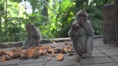 balinese : Young monkeys eating sweet potatoes in the Monkey Forest in Ubud - Bali