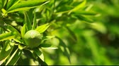 freshness :  Lemon on a branch in a house garden and green background Stock Footage