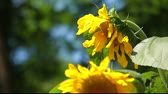 organic : Beautiful sunflower with green leaves Stock Footage