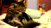 tomcat : Maine coon cat sitting on his back and cleaning itself. Video shift motion