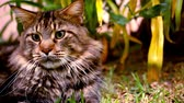 macro : Maine Coon black tabby cat with green eye on grass. Macro video shift motion