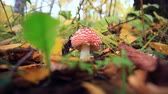 fungi : Amanita muscaria. falling leaves in autumn forest