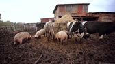 apropriado : Dairy cows and pigs on pasture on a farm