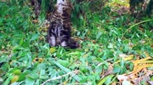 whiskers : Big maine coon cat under the tree in the autumn forest. Stock Footage