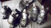 animal : Funny Maine coon cats move their heads back and forth.