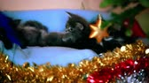 whiskers : Maine coon kittens playing under  Christmas tree on green background