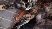 católico : Group of cats and kitten Maine Coon. Little red and black kittens with mother cat Stock Footage