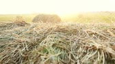 growing : Summer Farm Scenery with Haystack in slowmotion on the Background of Beautiful Sunset. Agriculture Concept. Stock Footage