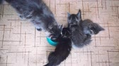 whiskers : Top of view litter of Maine Coon kittens with their big mum eating healthy cat food from a bowl together on the floor of a kitchen. 1920x1080