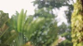 trachycarpus : Tropical rain drops falling on palm trees in island Koh Samui changes focus to trees, Thailand 1920x1080