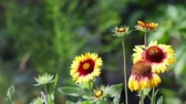 fundo colorido : Gaillardia - yellow and red flowers on a blurred background summer garden