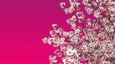 фуксия : Close-up of japanese sakura cherry tree crown in full blossom against copy space pink background