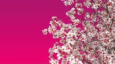 cherry blossom branch : Close up of blooming japanese sakura cherry tree against pink background with space for text