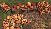 Autumn harvest of various colorful pumpkins laid out on wooden crates and on ground at outdoors farmers market for Thanksgiving or Halloween holidays Stock Footage