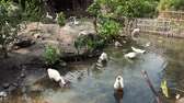 quintal : Ducks and geese in healthy free range farm.