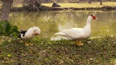 утка : Pair of free range muscovy ducks at river.