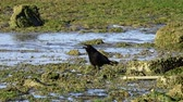 Black crow squawking at a tidal pool